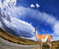 Le lama de confiance - petit chameau Photos stock