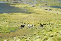 Le lame sul prato della montagna su un lago puntellano Fotografia Stock Libera da Diritti