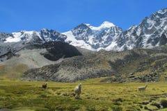 Le lame sul prato di verde della montagna vicino a neve montano Fotografie Stock Libere da Diritti