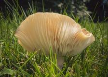 Le lamelle di un fungo Fotografie Stock