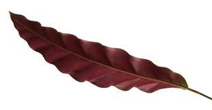 Le lancifolia de Calathea ou feuillage des insignis de Calathea, vert part avec les taches décoratives foncées et le dessous de l Images stock
