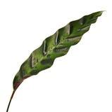 Le lancifolia de Calathea ou feuillage des insignis de Calathea, vert part avec les taches décoratives foncées et le dessous de l Image stock