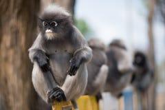 Le Langur du sud ou le singe sombre de feuille est des résidents dans l'obscurus de la Thaïlande Trachypithecus, foyer sélectif photo stock