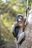 Le Langur du sud ou le singe sombre de feuille est des résidents dans l'obscurus de la Thaïlande Trachypithecus, foyer sélectif Photos stock