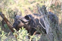 Le lanscape et la faune de l'Afrique du Sud au kruger garent le buffel Image stock