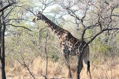 Le lanscape et la faune de l'Afrique du Sud au kruger garent la girafe Images libres de droits