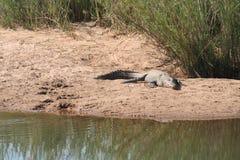 Le lanscape et la faune de l'Afrique du Sud chez Kruger garent le crocodile Photo libre de droits
