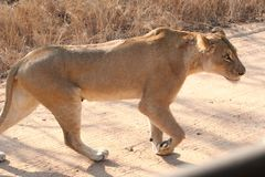 Le lanscape et la faune de l'Afrique du Sud chez Kruger garent le lion Images libres de droits