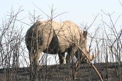 Le lanscape et la faune de l'Afrique du Sud chez Kruger garent le rhinocéros Photographie stock