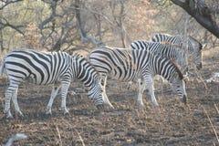 Le lanscape et la faune de l'Afrique du Sud chez Kruger garent le zèbre 1 Image stock