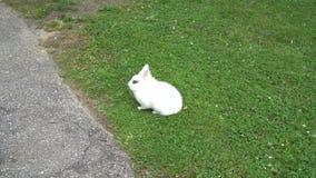 Le lapin blanc avec des yeux au beurre noir se repose tranquillement sur une pelouse verte banque de vidéos