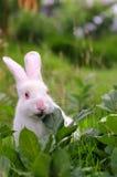 Le lapin blanc mange l'herbe Image libre de droits