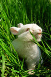 Le lapin blanc mignon mange l'herbe photos libres de droits