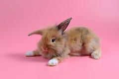 Le lapin brun pelucheux se reposent sur le fond rose propre Images libres de droits