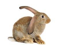 Le lapin de lapin de Brown a isolé Images libres de droits