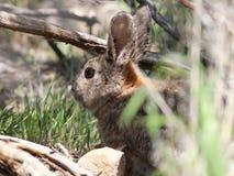 Le lapin de Nuttall - nuttallii de Sylvilagus Image libre de droits