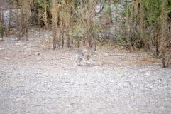 Le lapin de Texas Cottontail a attrapé dans le mi pas sur le passage couvert de gravier images libres de droits