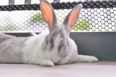 Le lapin dort Photographie stock libre de droits