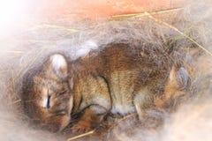 Le lapin dort dans un nid des cheveux avec le point névralgique ensoleillé Photos libres de droits