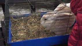 Le lapin géant flamand rouge se repose dans une cage et mange un repas Zoo de contact les gens observent les animaux domestiques clips vidéos