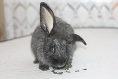 Le lapin noir mange des graines Photographie stock