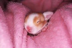 Le lapin nouveau-né d'animal familier de bébé taillent les bébés animaux mignons superbes de kits de kit de lapins de lapins de l photos libres de droits