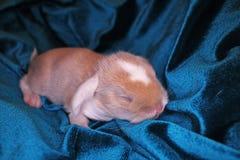 Le lapin nouveau-né d'animal familier de bébé taillent les bébés animaux mignons superbes de kits de kit de lapins de lapins de l photographie stock libre de droits