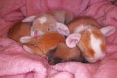 Le lapin nouveau-né d'animal familier de bébé taillent les bébés animaux mignons superbes de kits de kit de lapins de lapins de l photos stock