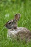 Le lapin oriental (sylvilagus floridanus) Photographie stock