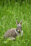 Le lapin oriental (sylvilagus floridanus) Photo stock
