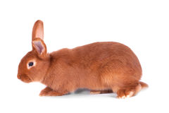 Le lapin rouge Photos stock