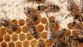 Le larve delle api e delle regine delle api si sviluppano in bozzoli Api, le loro larve e bozzoli, bozzoli delle regine delle api video d archivio