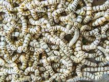 Le larve sono chiamate bachi da seta o bachi da seta fotografia stock libera da diritti