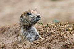 Le lat de marmotte Camtschatica de Marmota regardé hors de Nora pour regarder autour closeup Nature sauvage image stock