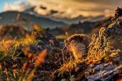 Le lat de marmotte Camtschatica de Marmota regardé hors de Nora pour regarder autour closeup Nature sauvage Lit par le coucher de photographie stock
