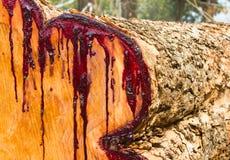 Le latex à section transversale du bois est souillé rouge. photos libres de droits