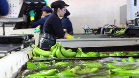 Le lavage d'opérateur se rassemble de la banane à l'usine de empaquetage clips vidéos