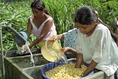 Le lavage de Guatémaltèques et imbibent le maïs dans l'évier photo libre de droits
