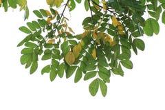 Le leguminose verdi del lebbeck dell'albizia della foglia isolate su fondo bianco, sulle foglie fresche e secco delle foglie, son immagine stock