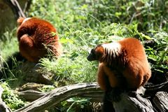 le lemur de couples monkeys le rouge ruffed Image libre de droits