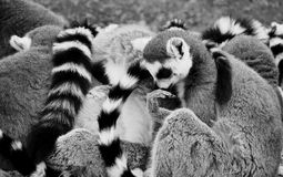 Le Lemur/penseur Images stock