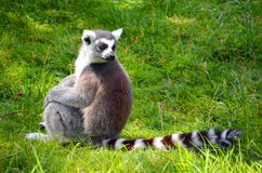Le Lemur Ring-tailed images stock