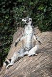 Le lemure catta (catta delle lemure) sono heated Immagini Stock