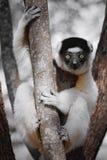 Le lemure curiose che fissano con la sua grande arancia osservano Immagine Stock