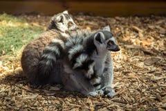 Le lemure dietro vetro immagini stock libere da diritti