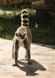 Le lemure e la farfalla Fotografia Stock Libera da Diritti
