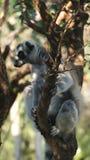 Le lemure rotondo-munite adorabili stanno sedendosi su un albero Immagini Stock Libere da Diritti