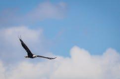 Le leucocephalus chauve américain d'Eagle Haliaeetus monte dans un ciel bleu et nuageux Images libres de droits