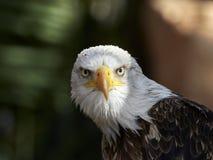 Le leucocephalus de Haliaeetus d'aigle chauve photos stock
