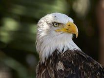 Le leucocephalus de Haliaeetus d'aigle chauve images stock